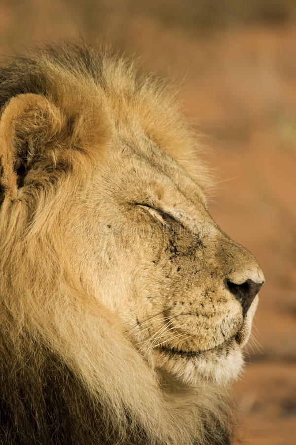 Majestic Lion stock image