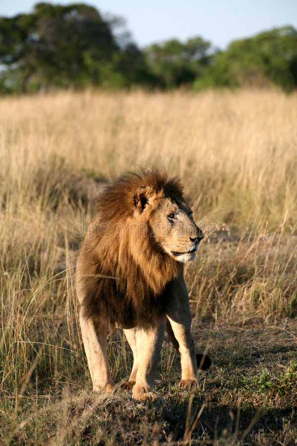 Download Majestic Lion Standing In The Grass Stock Photography - Image: 5651072