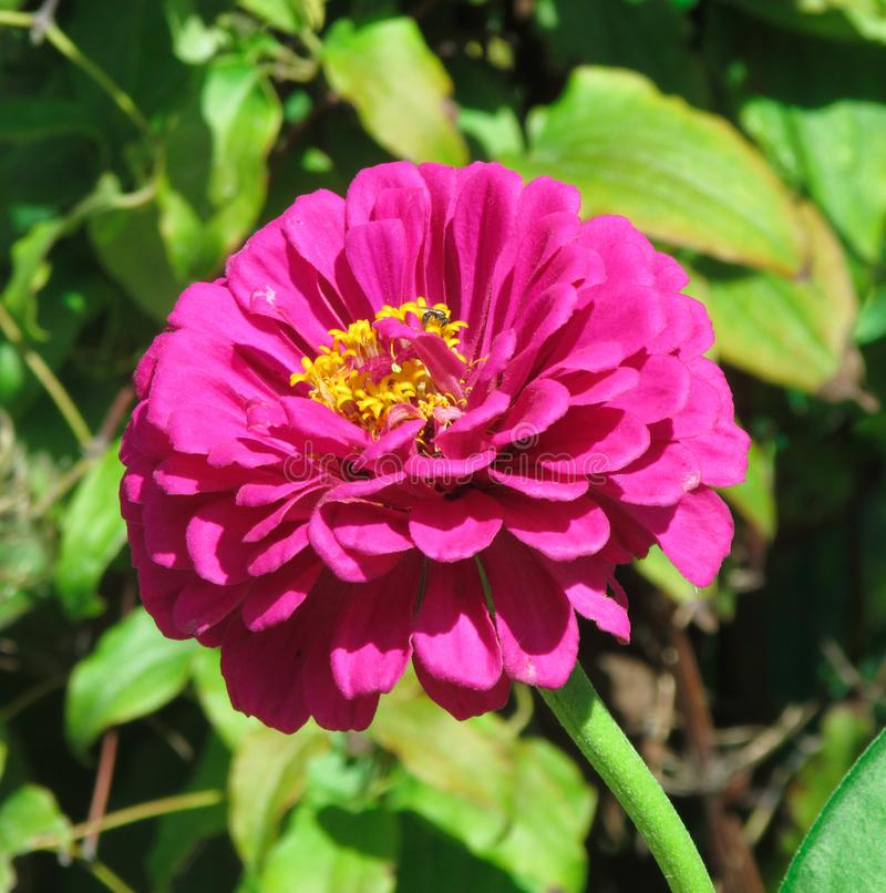 Long stemmed pink Dahlia in a summertime garden royalty free stock photo