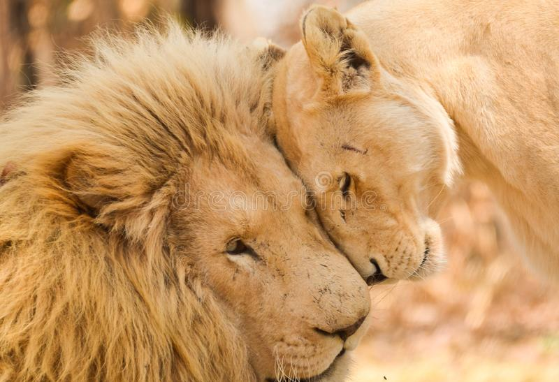 Majestic Love. Lion love, South Africa wildlife royalty free stock images