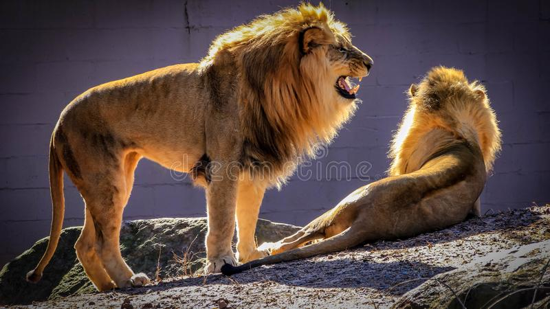 A majestic, male African lion with a golden mane roars while standing next to a lion lying on the ground in a zoo enclosure. royalty free stock image