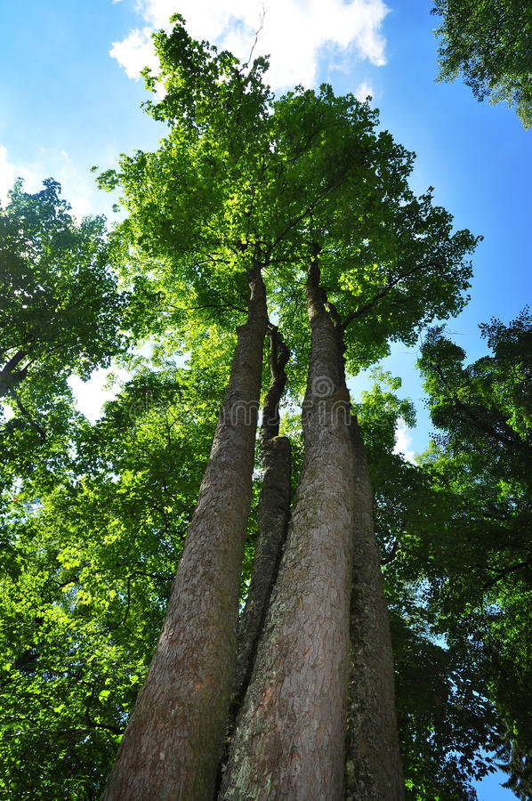 Majestic maple tree stock photography