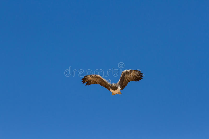 Majestic martial eagle flying holding branch for nest in blue Kalahari sky. Majestic martial eagle flying with branch for nest in blue Kalahari sky stock image