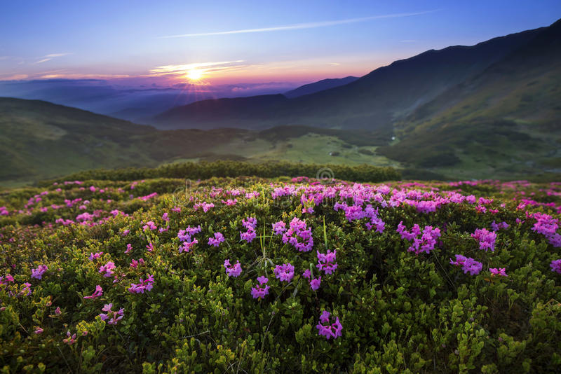 Majestic mountain sunset landscape with purple sky view and Rhododendron flowers stock image