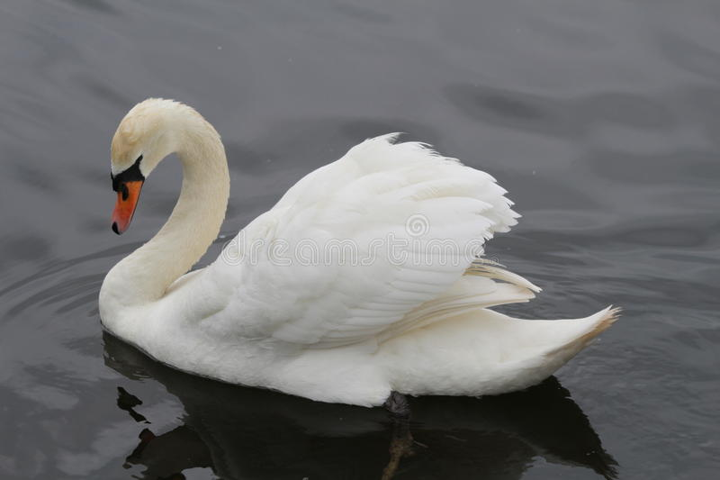 Majestic Mute Swan stock images