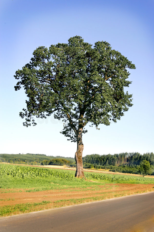 Download Majestic Oak Tree Stock Images - Image: 2976744