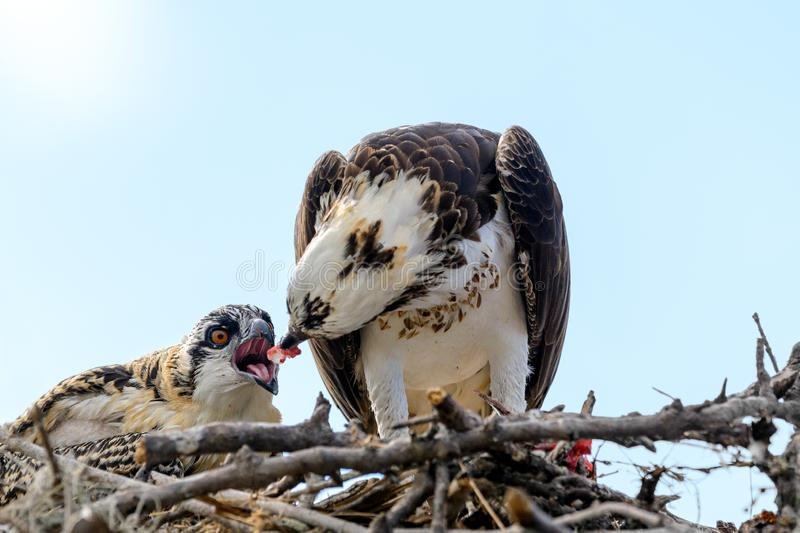 A majestic osprey Pandion haliaetus in the nest eating a fish and feeding its chick with fish royalty free stock photos