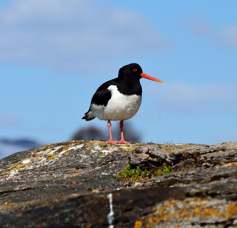 Free Majestic Oystercatcher Bird Standing On Sea Shore Rock In Summer Stock Images - 103177134