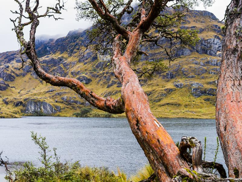 Majestic paper tree in Cajas National Park, Ecuador royalty free stock images