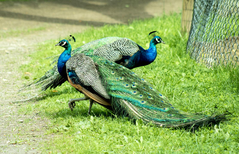 Majestic Peacocks posing in the sun. Beautiful male peacocks posing next to each other in the sun and grass stock image
