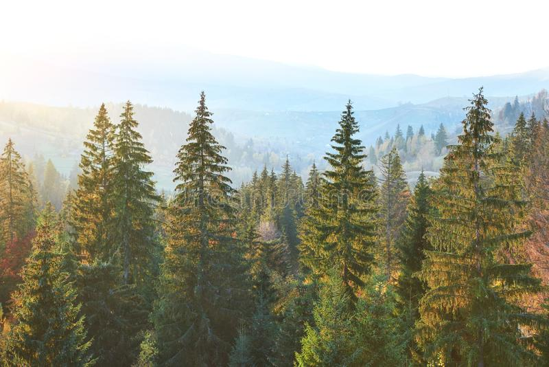 Majestic pine tree forest at autumn mountain valley. Dramatic picturesque morning scene. Warm toning effect. Carpathians royalty free stock images