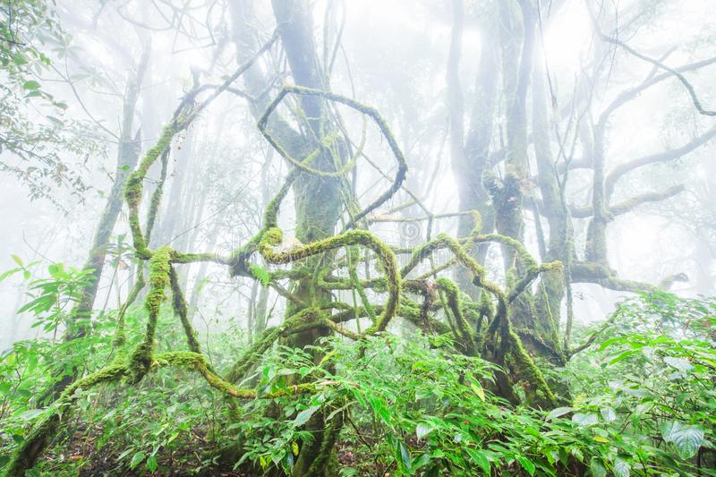 Majestic pure nature, fresh moss and lichen in the root of old trees, ancient tropical forest in the mist backgrounds. The royalty free stock images