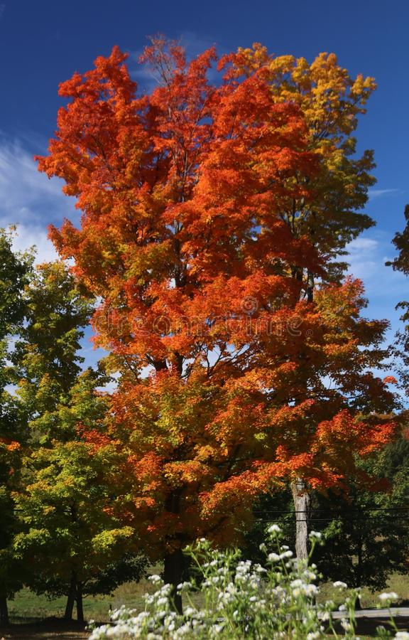 Majestic red leaf Vermont maple stock photo