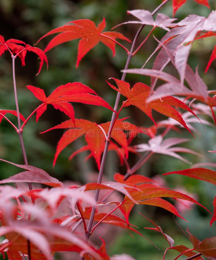 Majestic red   leave    of   japanese maple stock images