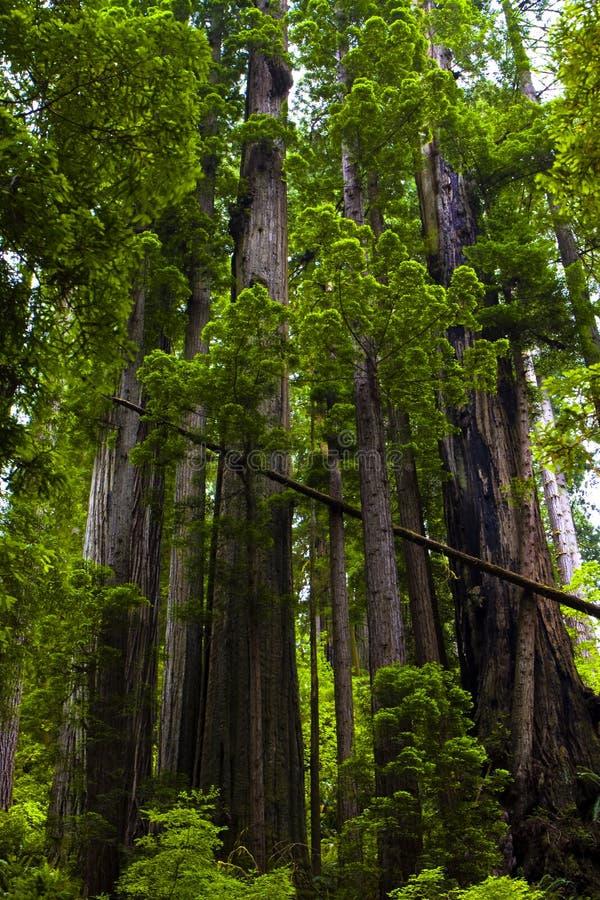 Free Majestic Redwoods Royalty Free Stock Image - 16738206