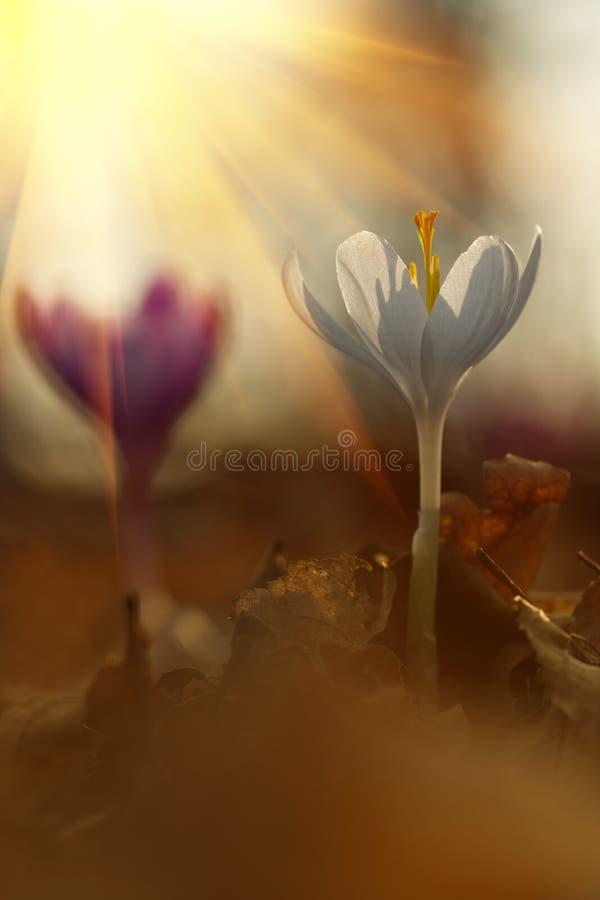 Majestic scenic view on wild spring flower crocus in sunlight. Amazing golden sunbeams on wildgrowing white crocus in wildllife re royalty free stock photo