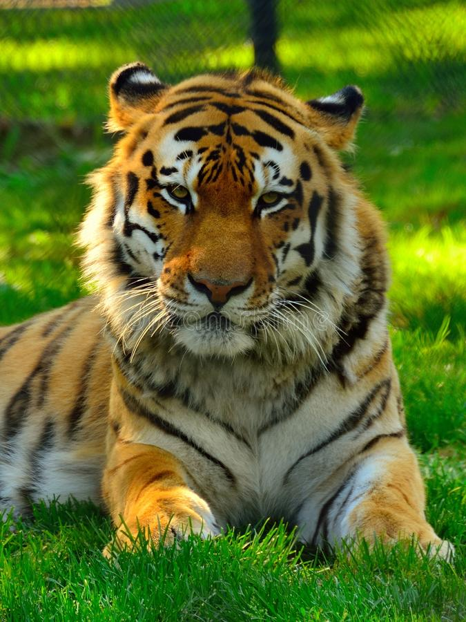 Majestic Siberian Tiger. Front portrait stock photo