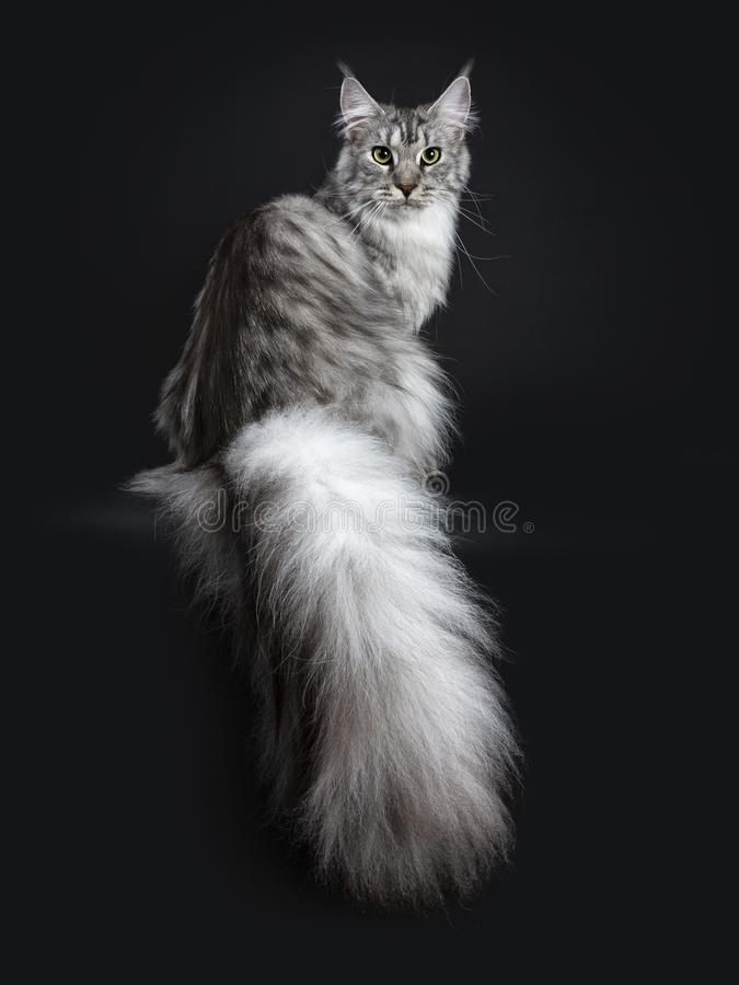 Free Majestic Silver Tabby Young Adult Maine Coon Cat Sitting Backwards Looking Over Shoulder With Enormous Tail Hanging Over Edge, Loo Stock Image - 121429531