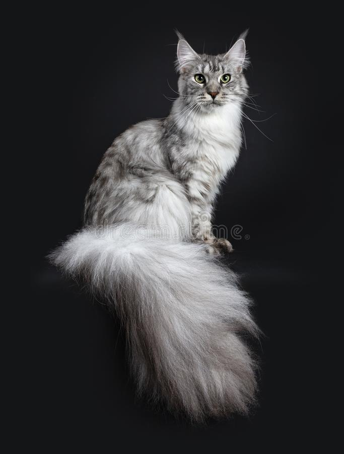 Free Majestic Silver Tabby Young Adult Maine Coon Cat Sitting Side Ways With Enormous Tail Hanging Over Edge, Looking Straight At Lens Stock Photos - 121429563