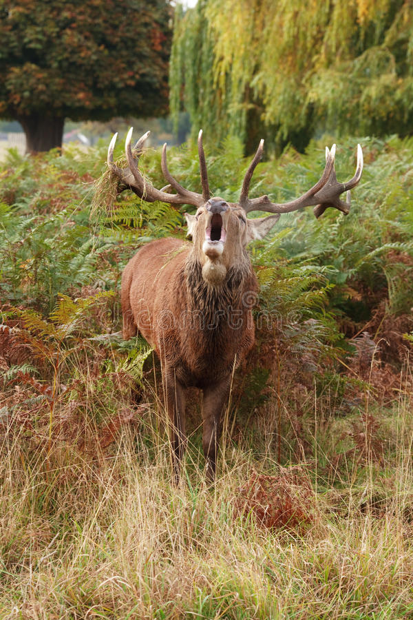Majestic Stag Braying Wild Red Deer Stock Photo