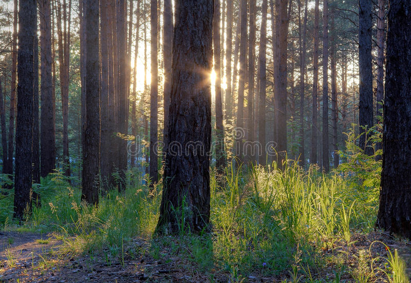 Download Majestic sunset stock photo. Image of pines, mist, nature - 10454216