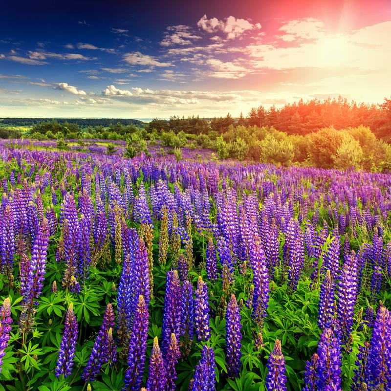 Majestic sunset over field of lupine flowers royalty free stock photos