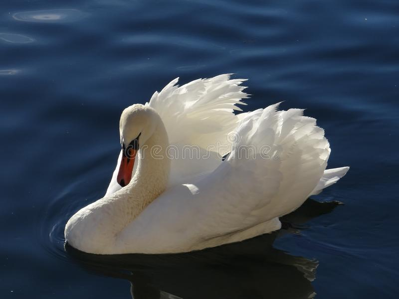 The majestic white swan seems to adore in the reflections of the calm water of the lake stock photography