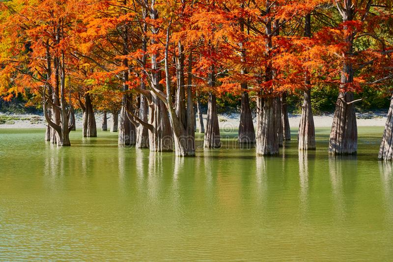 Majestic Taxodium distichum in a gorgeous lake against the backdrop of the Caucasus mountains in the fall. Autumn. October. Sukko royalty free stock photography