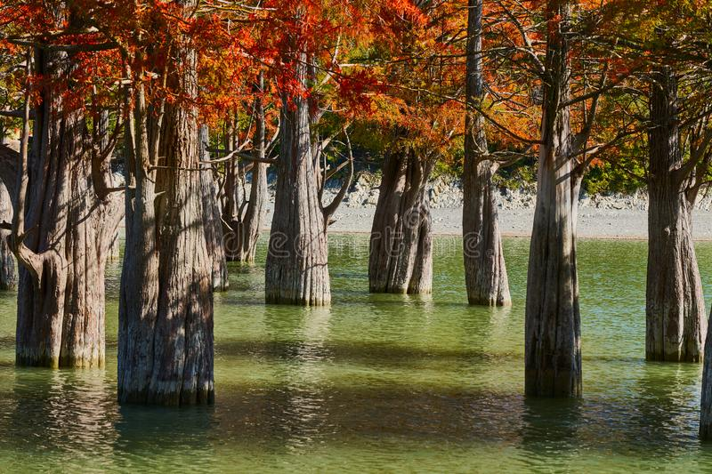 Majestic Taxodium distichum in a gorgeous lake against the backdrop of the Caucasus mountains in the fall. Autumn. October. Sukko royalty free stock photos