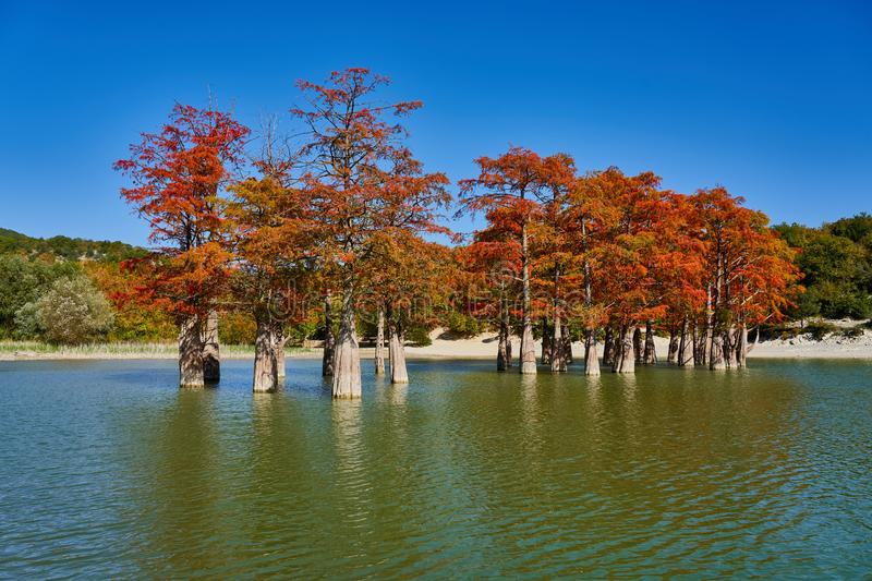 Majestic Taxodium distichum in a gorgeous lake against the backdrop of the Caucasus mountains in the fall. Autumn. October. Sukko stock photography