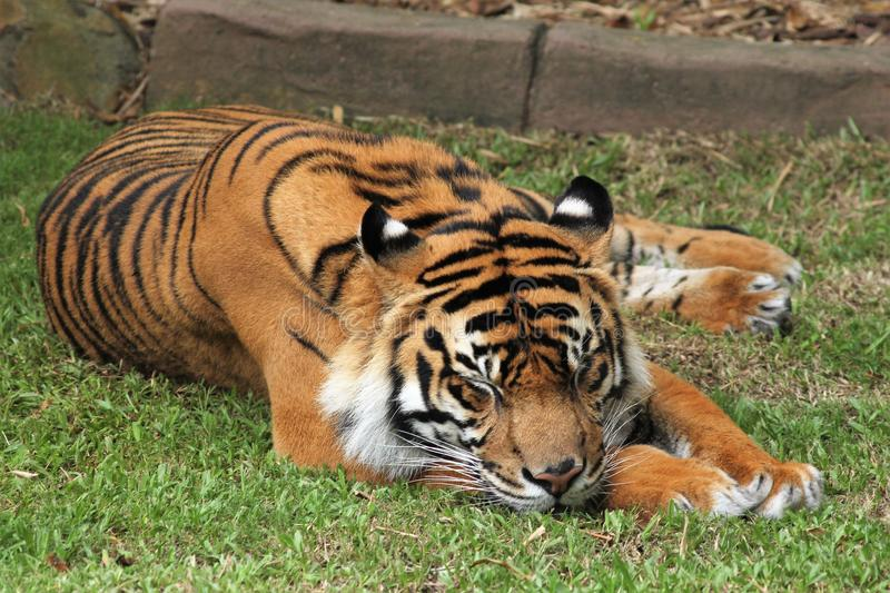 Majestic tiger lying down on grass. Close up shot of a majestic tiger with its eyes closed, sleeping, lying on a green grass field. Orange and black striped royalty free stock photo