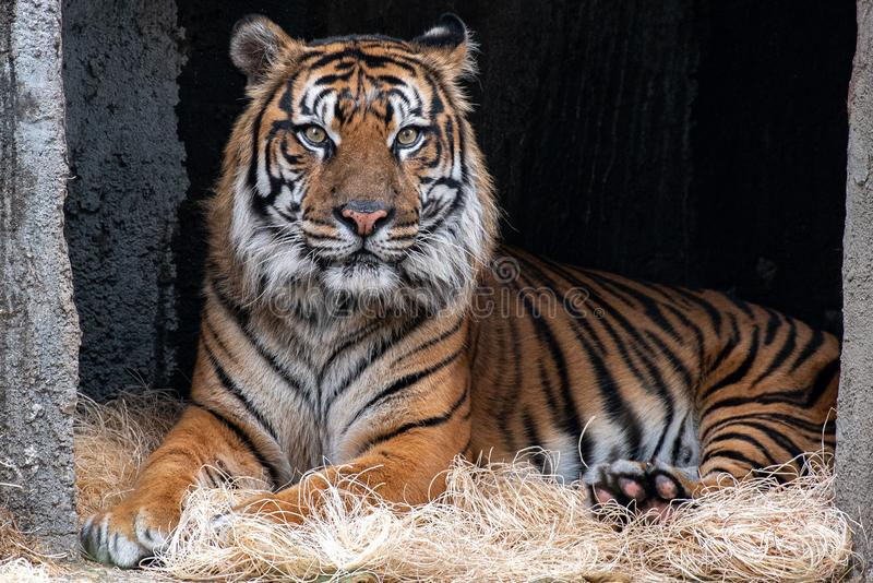 Majestic tiger portrait. A tiger laying down with head up looking right at the camera royalty free stock photography