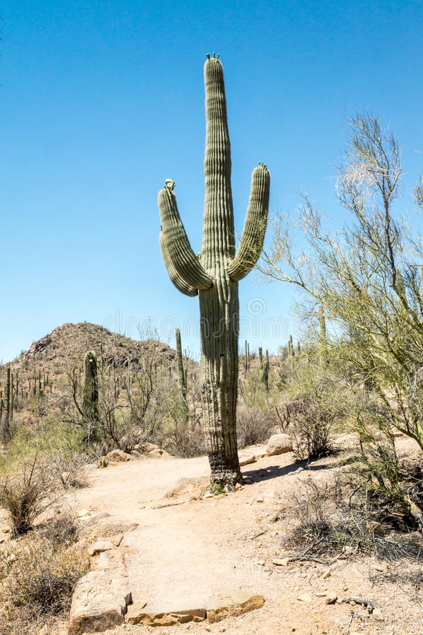 Majestic Trail Guard. A majestic Saguaro cactus towers above the colorful Sonoran desert landscape, standing guard along a hiling trail in Saguaro National park royalty free stock photo