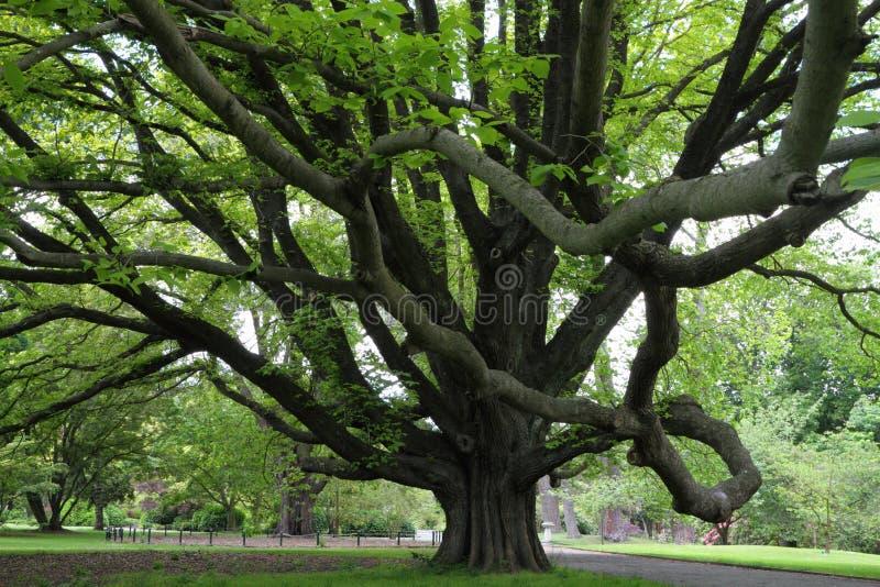 Majestic tree royalty free stock photos