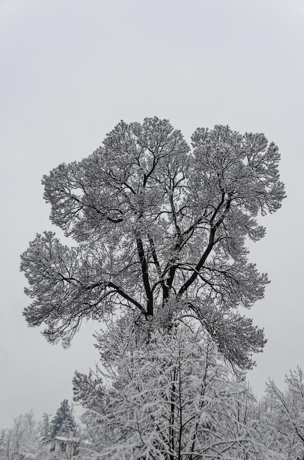 Majestic view of snowy top trees in winter park, Bankya royalty free stock image