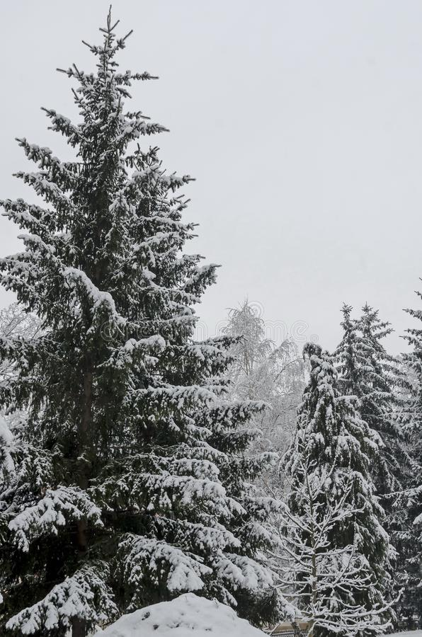Majestic view of snowy trees in winter park, Bankya royalty free stock photo