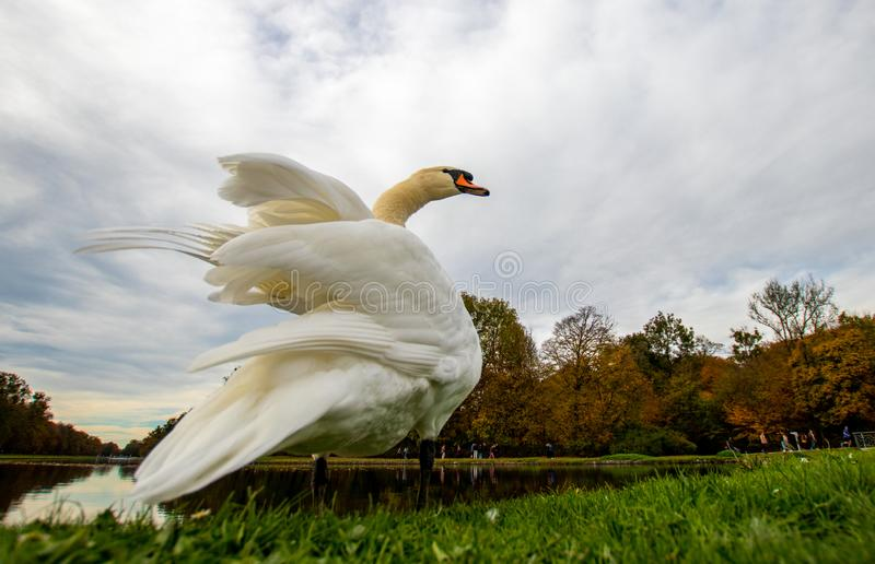 A majestic white swan in the grass at a lake.  stock image