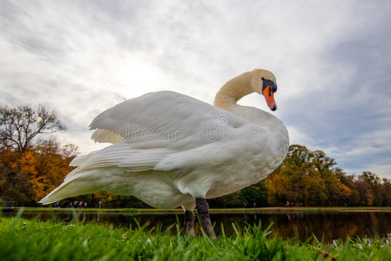A majestic white swan in the grass at a lake stock photo