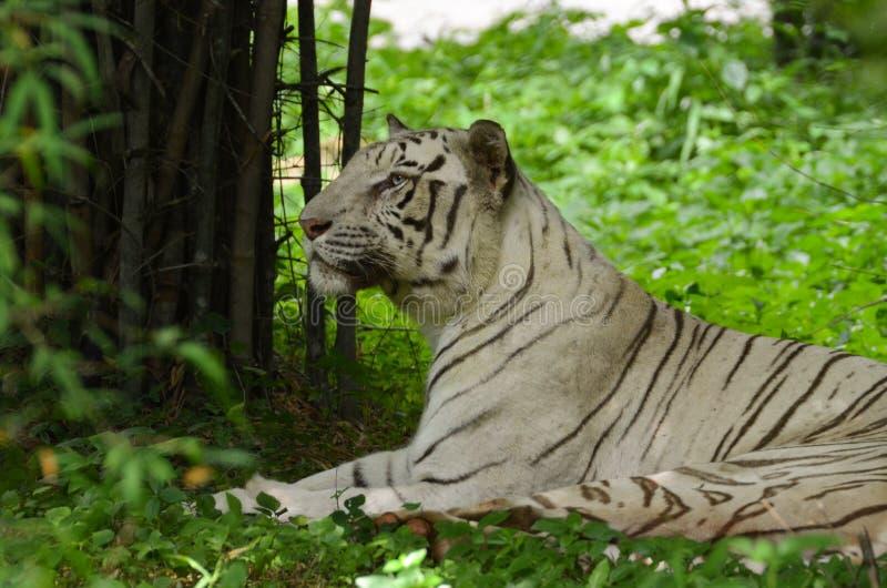 Majestic white tiger royalty free stock photo