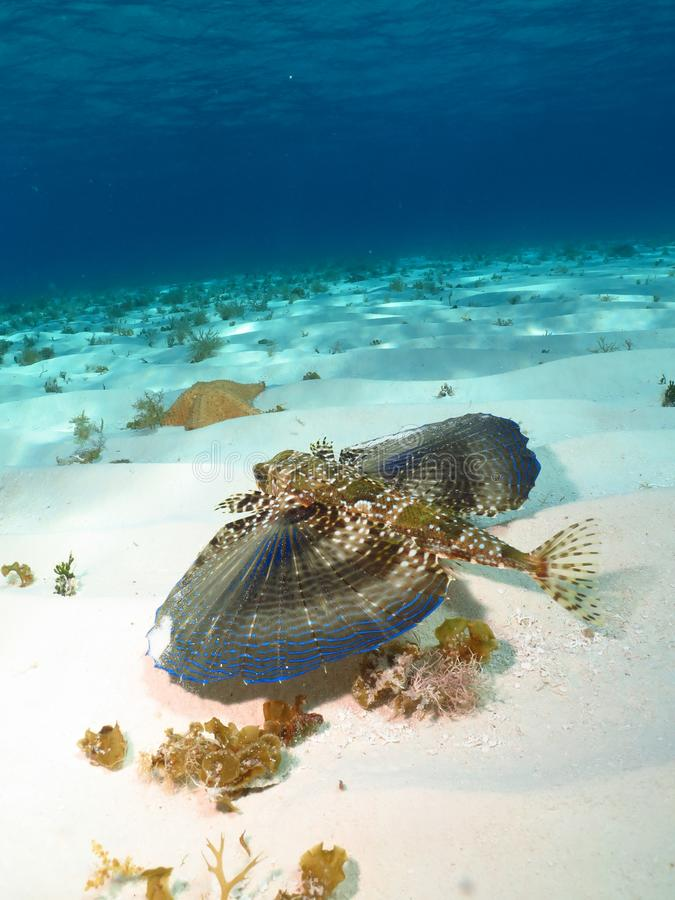 The majestic wings of a flying Gurnard. royalty free stock images