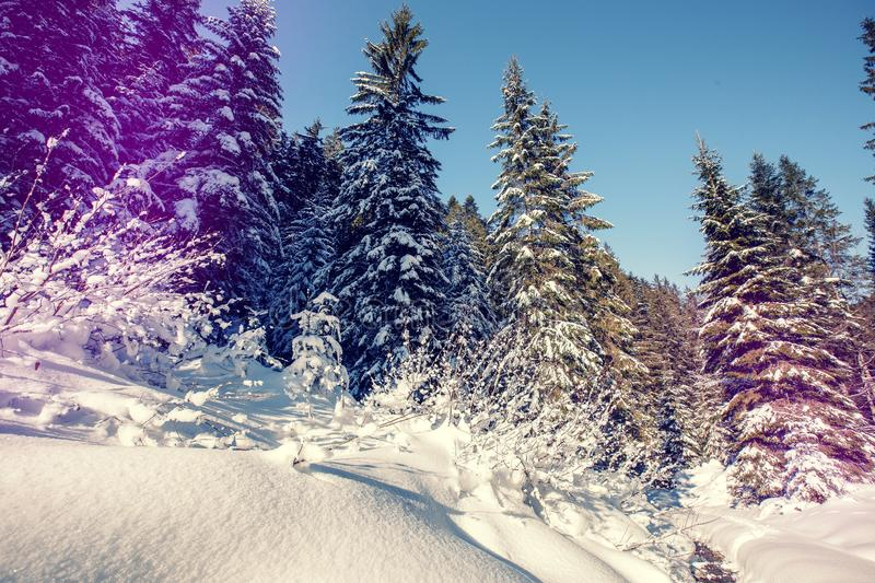 Majestic winter landscape. frosty pine tree under sunlight at sunset. christmas holiday concept, unusual wonderful royalty free stock photo