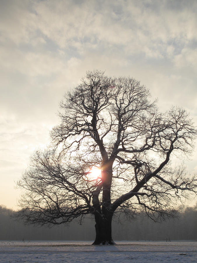 Majestic Winter tree. Single oak tree at sunset in winter royalty free stock photo