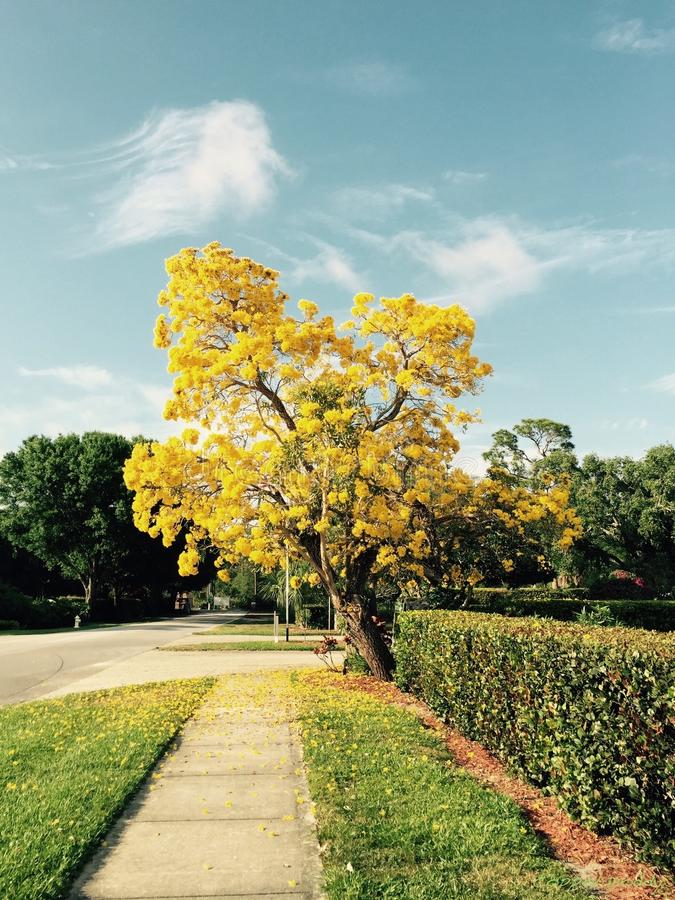 Majestic Yellow Ipê and Sky. This marvelous tree has only blooms like this a few times in the last couple years, and I feel privileged to have been there at stock image