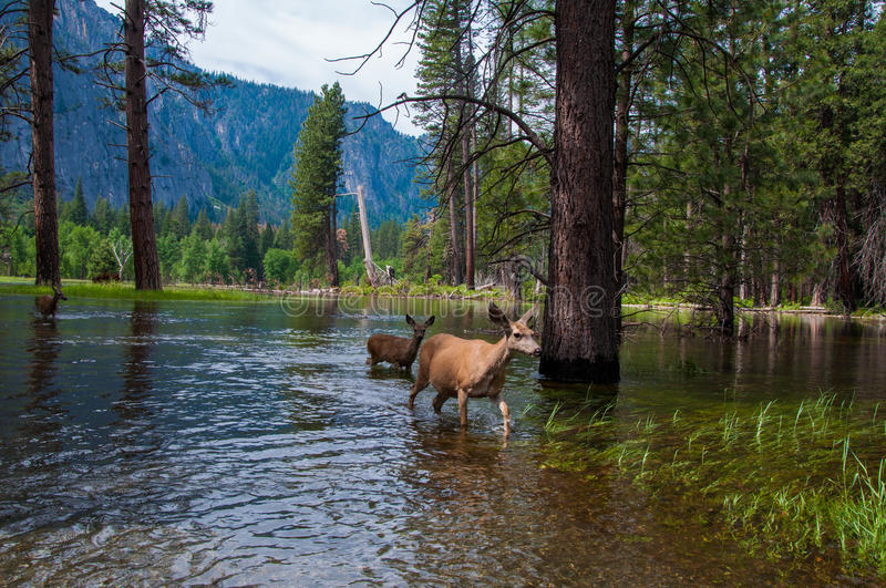 Majestic Yosemite deer wading in the overflowing Merced river royalty free stock image