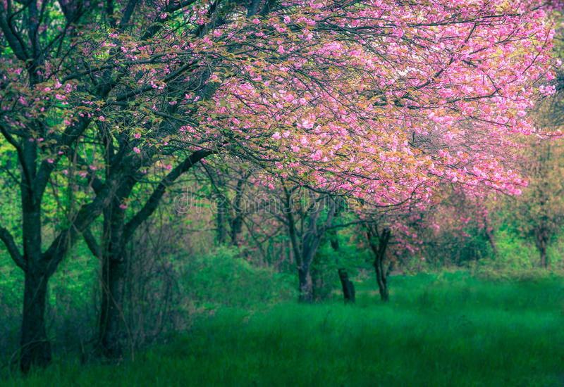 Majestically blossoming sakura trees on a fresh green lawn. Soft focus background. Filtered image:cross processed colorful effect stock photos