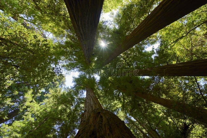 Majestueuze bomen in het de Californische sequoiabos van Californië stock foto