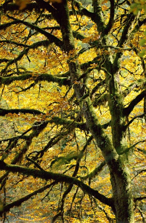 Majestueuze boom in de herfst stock afbeeldingen