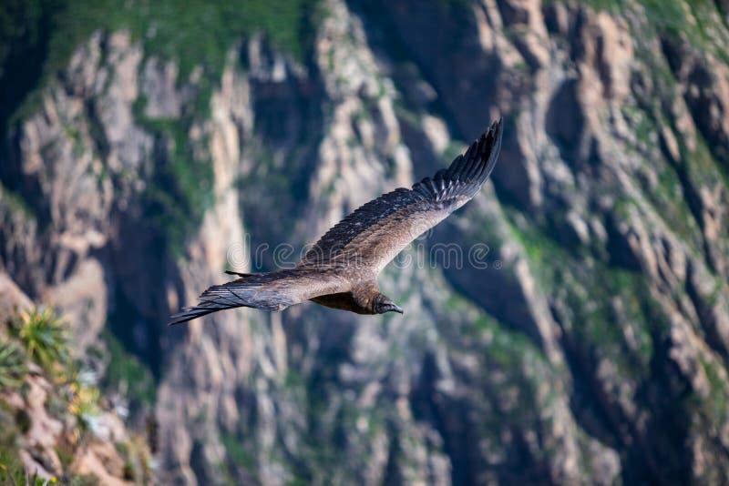 Majestueuze Condor die over de colcacanion vliegen in chivay, Peru die dode prooi zoeken stock foto's