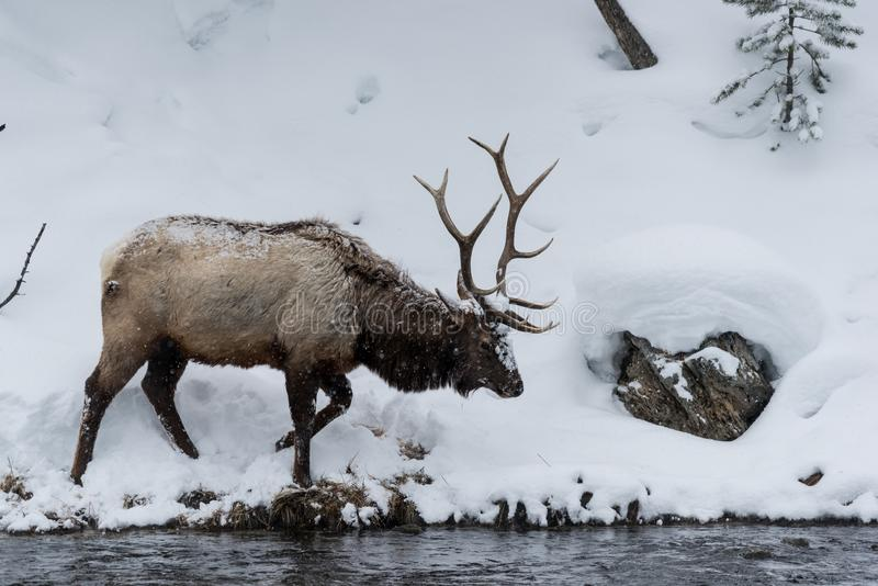 Majestueuze die Stierenelanden als Wapitiherten of Cervus ook worden bekend die canadens op de snow-covered bank van Madison Rive stock foto's