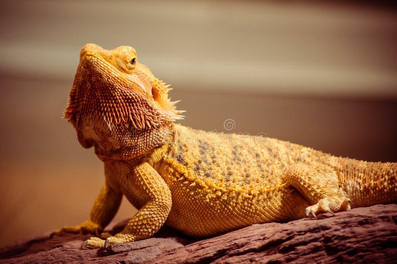 Majestueuze Gebaarde Draak onder gouden licht stock afbeeldingen
